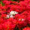 紅のハーレム