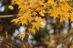 楓の葉(^_^) 其の十二