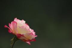 秋薔薇(^_^)
