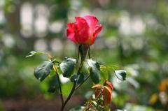 薔薇Vol.1