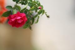 2018 薔薇 其の五