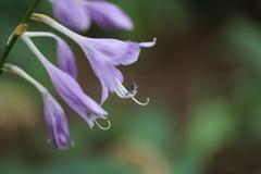 ギボウシの花・・・1