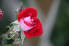 薔薇Vol.3