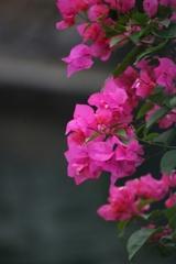 厦門旅行記 其の4・・・厦門市の花 ブーゲンビリア