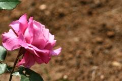 薔薇Vol.2