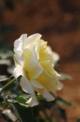 薔薇Vol.11