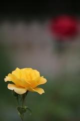2018 薔薇 其の十