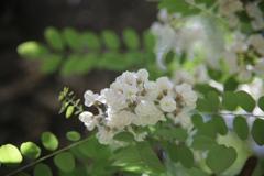 アカシアの花 其の二