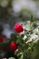 2018 薔薇 其の四
