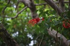 厦門旅行記 其の9・・・ホテル前のデイゴの花