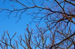 春待つ赤芽