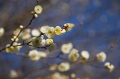 早咲き白梅3