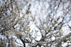 梅の香り2