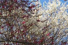 早咲き白梅4