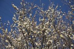 早咲き白梅2