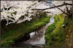 蛍の里に桜咲く