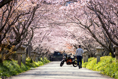 Motorbike guy on a row of cherry trees
