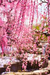 ピンクのカーテンⅡ