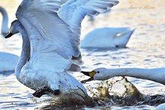 ninjinの松江百景 思い出の白鳥1