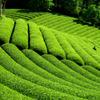 肥後の国散歩 茶畑 相良村 1