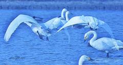 ninjinの松江百景 白鳥のいる光景61