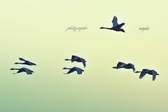ninjinの松江百景 白鳥のいる風景11