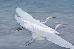 ninjinの松江百景 宍道湖 白鷺の舞