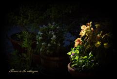 夕陽の中の花々