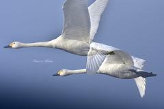 ninjinの松江百景 白鳥のいる光景59
