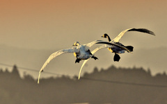 ninjinの松江百景 白鳥のいる光景119