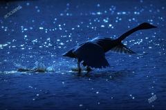 ninjinの松江百景 白鳥「蒼の世界」2