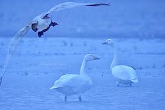 ninjinの松江百景 白鳥のいる光景53