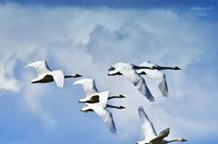 ninjinの松江百景 白鳥のいる風景25