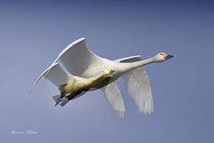 ninjinの松江百景 白鳥のいる光景56