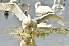 ninjinの松江百景 白鳥のいる風景16