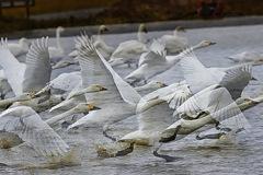 ninjinの松江百景 白鳥のいる風景24