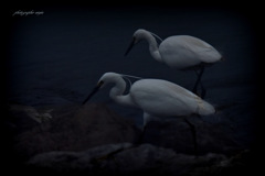 ninjinの松江百景 白鷺のいる光景2