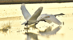 ninjinの松江百景 白鳥のいる光景55