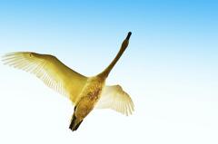 ninjinの松江百景 白鳥のいる風景14