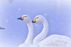 ninjinの松江百景 白鳥のいる風景19