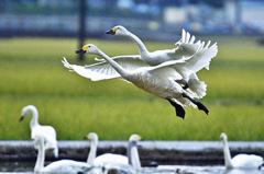 ninjinの松江百景 白鳥のいる風景5