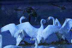 ninjinの松江百景 白鳥のいる風景22
