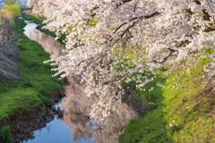 水辺の桜 上流