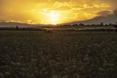 蕎麦畑の朝
