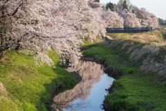 水辺の桜 下流