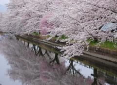 桜満開ー水面も満開ー