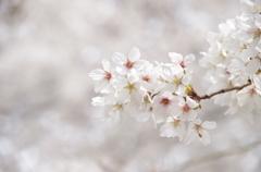 近所の桜①