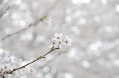 近所の桜④