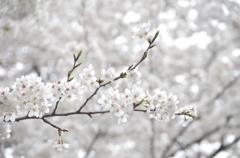 近所の桜②