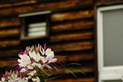 紫の花と木造校舎